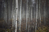 Trunks of small white birch trees - 94616748