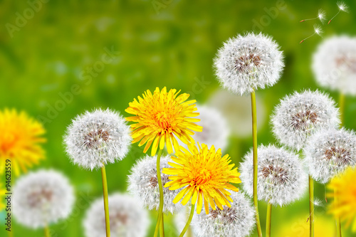 Wildflowers dandelions