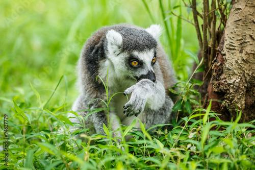 Lovely ring-tailed lemur sitting on the grass Plakat