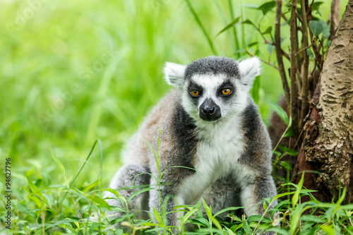Fotografering  Lovely ring-tailed lemur sitting on the grass