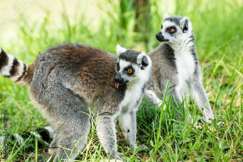 ring-tailed lemur lovely expression Billede på lærred