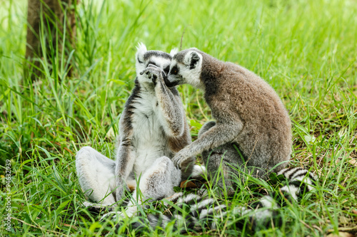 Photo  Two affectionate ring-tailed lemur