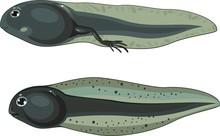 Tadpole And Tadpole With Legs