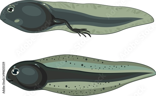 tadpole and tadpole with legs Fototapeta