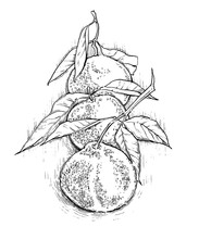 Mandarin, Vector Hand Drawing