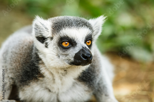 Photo  Lovely ring-tailed lemur face close up