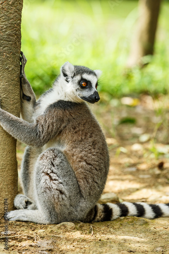 Fotografering  Lovely ring-tailed lemur close up