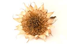 Fleur De Tournesol Séchée Sur Fond Blanc