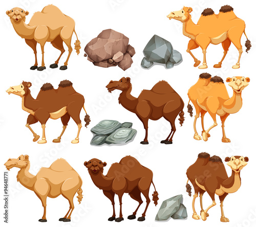 Fotografia Camel in different poses