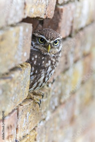 Fotobehang Uil Little Owl Looking Out of a Hole in a Wall