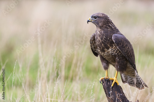 Photo Buzzard sitting on a Tree Stump