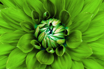 Dahlia flower closeup. Macro. Can be used in the design of the site and in printing. Also good for designers. Green.