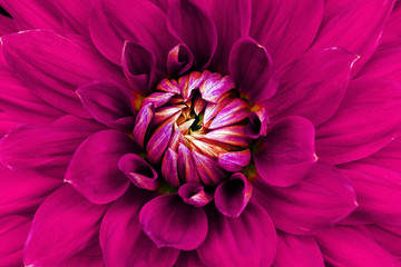 Dahlia flower closeup. Macro. Can be used in the design of the site and in printing. Also good for designers. Pink.