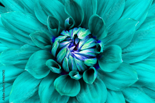 Poster de jardin Dahlia Dahlia flower closeup. Macro. Can be used in the design of the site and in printing. Also good for designers. Cyan, blue.