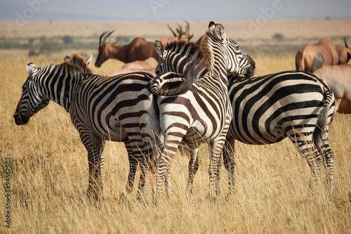 Foto op Plexiglas Afrika Zèbres - Masai Mara