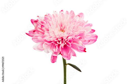 Fototapeta pink chrysanthemum