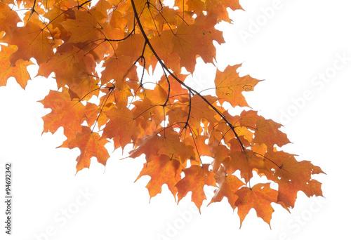 Fotografie, Obraz  maple leaves foliage isolated against white