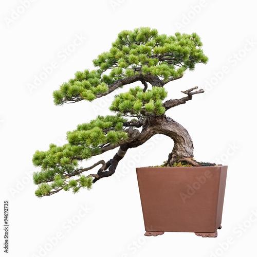 Spoed Fotobehang Bonsai pine bonsai