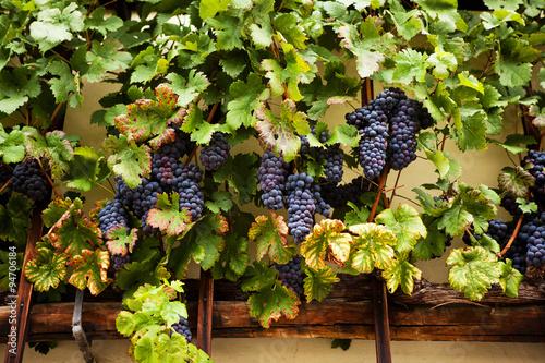 Keuken foto achterwand Oost Europa The worlds oldest grape vine in Maribor, Slovenia.