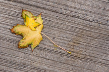 Two Yellow Autumn Maple Leaves Lying On One Another On A Stone Ground With Interesting Pattern