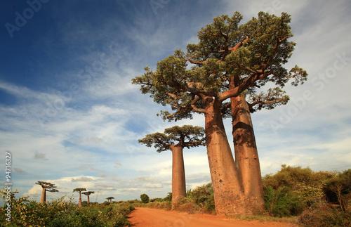 Keuken foto achterwand Baobab allee des baobabs - alley of baobabs, madagascar