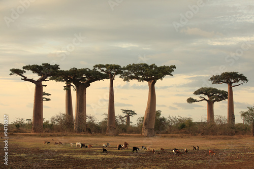 In de dag Baobab allee des baobabs and a herd of goats