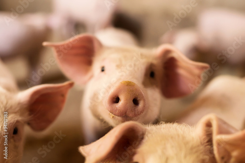 Fotomural  Pig nose in the pen. Focus is on nose. Shallow depth of field.