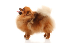 Pomeranian Spitz On The White ...
