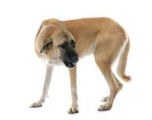 Aggressive Anatolian Shepherd Dog