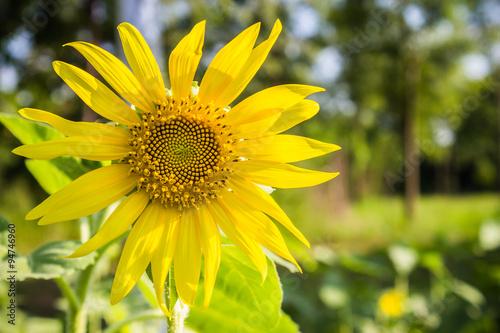 Papiers peints Narcisse The sun flower day light