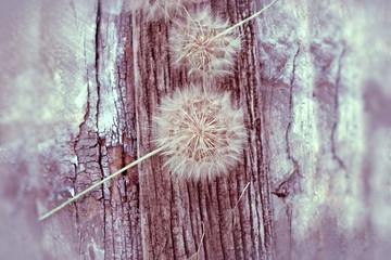 Naklejka Dandelion seeds - fluffy blowball