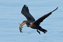 Double-crested Cormorant In Flight With Large Fish