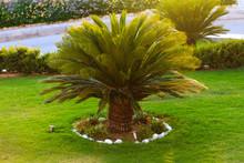 Good Looking Sago Palm Trees Growing In Backyard