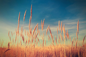 Fototapeta Vintage Vintage photo of dry thickets of reeds over blue sky. Nature background.