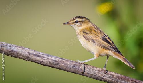 Fotografie, Obraz  The Sedge Warbler