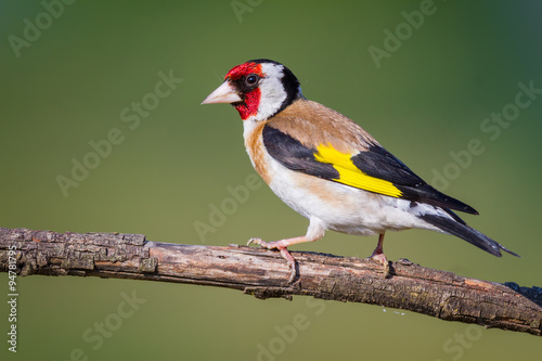 Photo  The Goldfinch