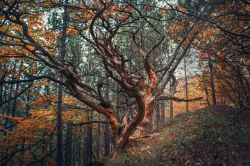 Panel Szklany Drzewa Old tree in autumn forest