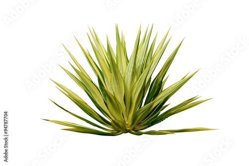 Agave plant isolated on white background. Canvas Print