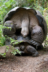 Galapagos tortoises mating season. General form. An excellent illustration.