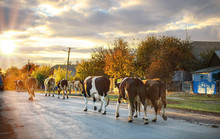 Cows Go On The Rural Road At Sunset,  Ukraine.