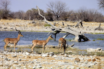 Impala, Aepyceros melampus, at waterhole Etosha, Namibia