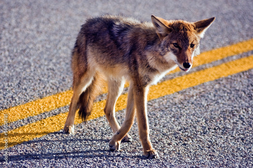 Coyote crossing road Fotobehang