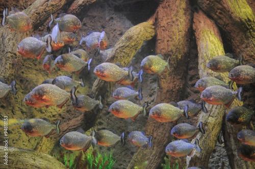 Fotografia, Obraz  Some Orange Piranhas