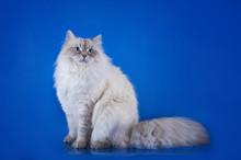 Siberian Cat On A Blue Backgro...
