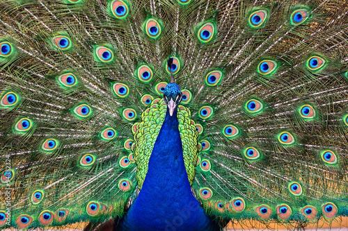 fototapeta na drzwi i meble Peacock