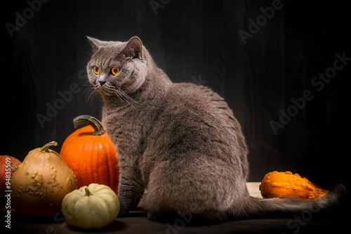 Foto auf Acrylglas Katze British shorthar cat next to pumpkins. Black background.