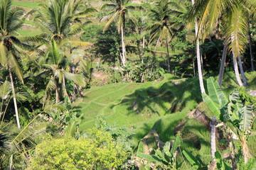 Reisterrassen und mit Palmen