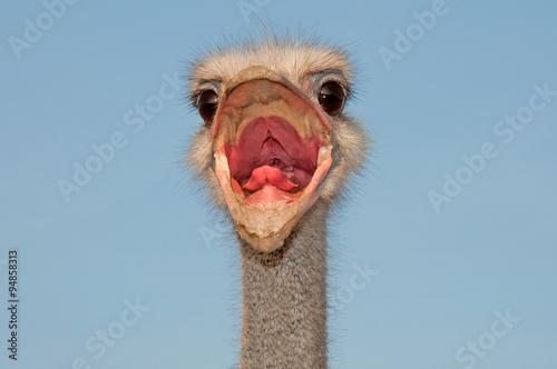 Staande foto Struisvogel Ostrich shouts, Struthio camelus male