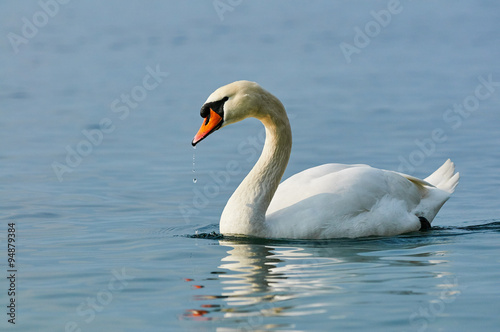 Papiers peints Cygne Swan in water