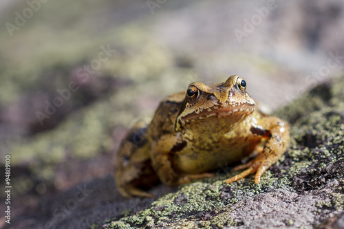 Tuinposter Kikker Common Frog (Rana temporaria) also known as the European common frog, European common brown frog, or European grass frog, sitting on a stone a sunny day